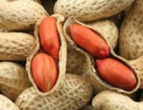 خرید بادام زمینی از تولیدکننده